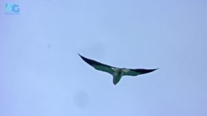 Indian kite at Gumtara fort summit